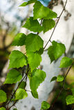Birch branches green leafs Royalty Free Stock Images