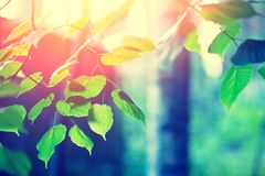 Birch branches with green leaves royalty free stock images