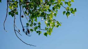 Birch branches with green leaves moving in the wind in front of the sky. Copyspace stock footage