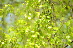 Birch branches Royalty Free Stock Image