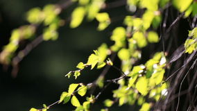 Birch branches with green leaves in sunny day. Birch branches with green leaves in sunny spring day stock video footage