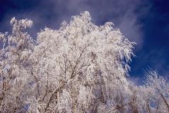 Birch branches with hoar an sky Royalty Free Stock Photo