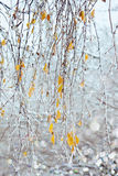 Birch branches with icicles under freezing rain Stock Images