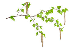 Birch branches isolated Royalty Free Stock Photos