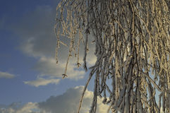 Birch branches in the snow. On a sunny winter morning birch twigs covered with snow looks like hair Royalty Free Stock Photos