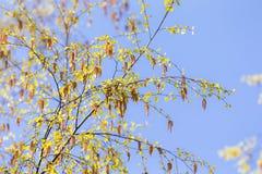 Birch branches in spring Stock Photos