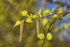Birch branches in spring Royalty Free Stock Image
