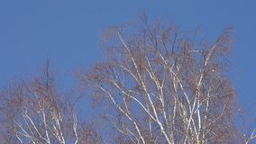Birch branches spring in the wind stock video footage