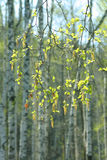 Birch branches in spring wood Royalty Free Stock Image