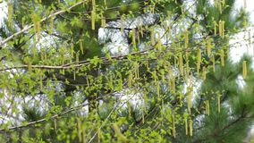 Birch branches swaying in the wind. Against a pine tree. Spring day in April. birds singing and the rooster. the sound is turned on. Early spring. Young birch stock footage