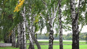 Birch branches with swaying in the wind stock video footage