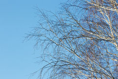 Birch branches in winter without leaves against the blue sky. Stock Photos