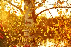 Birch branches with yellow autumn leaves Royalty Free Stock Image