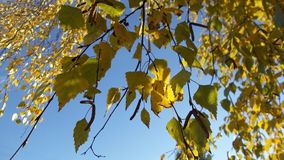 Birch branches with yellow leaves against the blue sky royalty free stock image