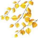 Birch branches Stock Photos