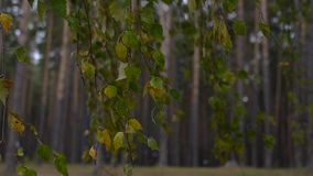 Birch branches with yellow leaves swing in the wind in motion. slowmotion, HD, 1920x1080. Birch branches with yellow leaves swing in the wind in motion stock video footage