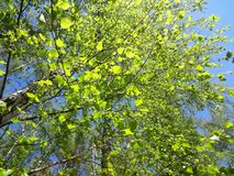 Birch branches with young leaves in the sunlight stock images