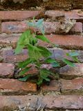 Birch in the brick wall. Life makes its way through the stone in spite of any adversity royalty free stock images