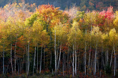 Birch Brights. Birch trees in autumn illuminated by sunlight Royalty Free Stock Photos