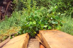 Birch broom lying on brown wooden porch. Of rural village bath. Photo closeup stock photography