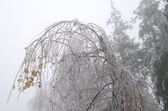 Birch brought by the accumulation of ice. Stock Image