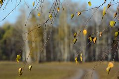 Birch brunches with old autumn leaves on mud blurry forest background Royalty Free Stock Image