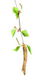 Birch with buds Royalty Free Stock Photos