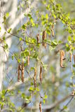 Birch with buds blossoming Royalty Free Stock Images