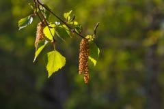 Birch buds in city garden. Birch buds on green background Stock Image
