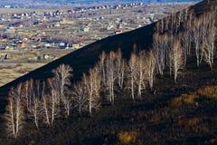Birch on burnt ground Stock Image