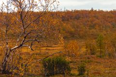 Birch and bush of a juniper in the autumn forest stock images