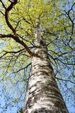 Birch canopy Stock Photography