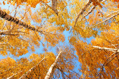 Birch canopy. Top of the birches, sun weather and blue sky Stock Photo