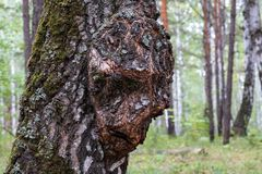 Birch Capa on the trunk of a tree growing in the forest, the growth on the wood in the form of a person. Birch forest stock photo