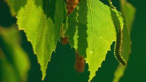 Birch catkin stock video