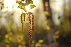 Birch catkin Royalty Free Stock Images