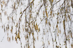 Birch catkins Stock Photos