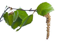 Birch catkins Stock Photo