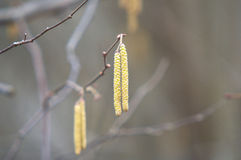 Birch catkins. In earky spring Royalty Free Stock Images