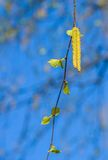 Birch with catkins bloom Stock Image