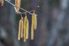 Birch with catkins bloom Stock Images