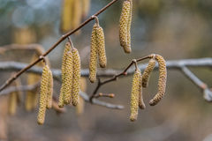 Birch with catkins bloom Royalty Free Stock Images