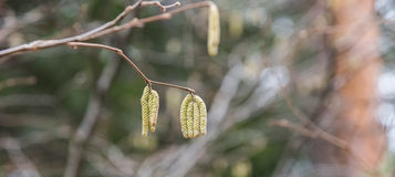 Birch with catkins bloom Stock Photos