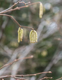 Birch with catkins bloom Royalty Free Stock Photos