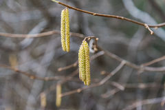 Birch with catkins bloom Stock Photo