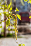 Birch catkins1 Stock Photography
