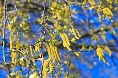 Birch Tree Blossoms, beginning of new life. Birch catkins with green leaves at tree branches. Birch Tree Blossoms. Spring background with branch of birch royalty free stock photography