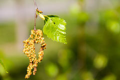 Birch catkins with green leaves at tree branches royalty free stock images
