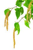 Birch catkins isolated on white background. Royalty Free Stock Image