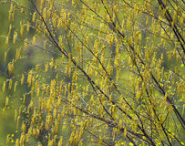 Birch catkins in spring Royalty Free Stock Image